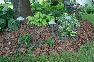 Wire cover to keep rabbits off hostas