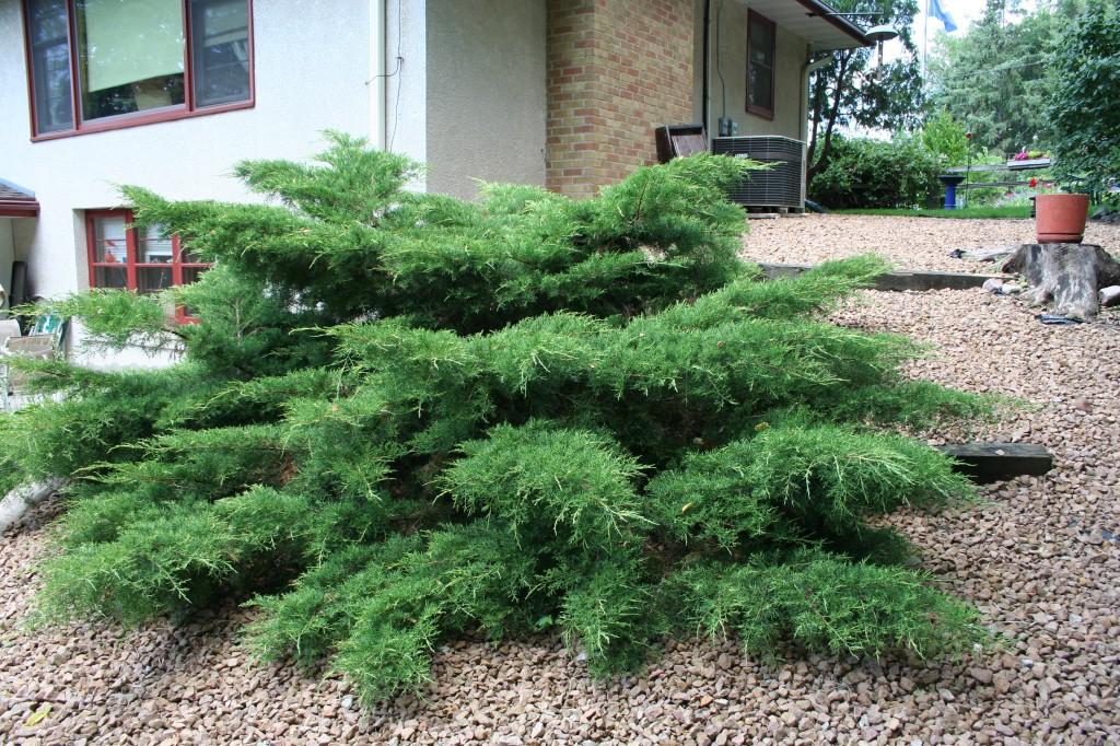 Top 25 Best Evergreen Shrub Garden Design Seattle 17 Best