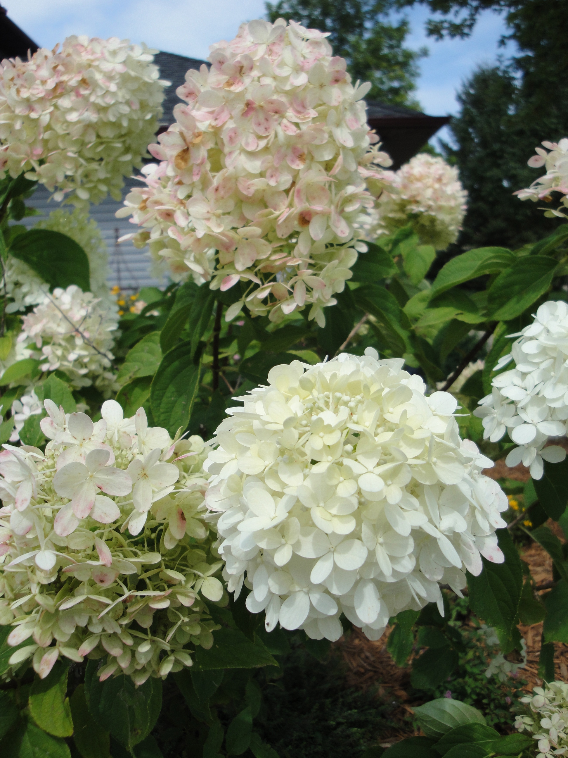 Limelight hydrangea bloom