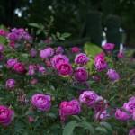 'Sven' roses