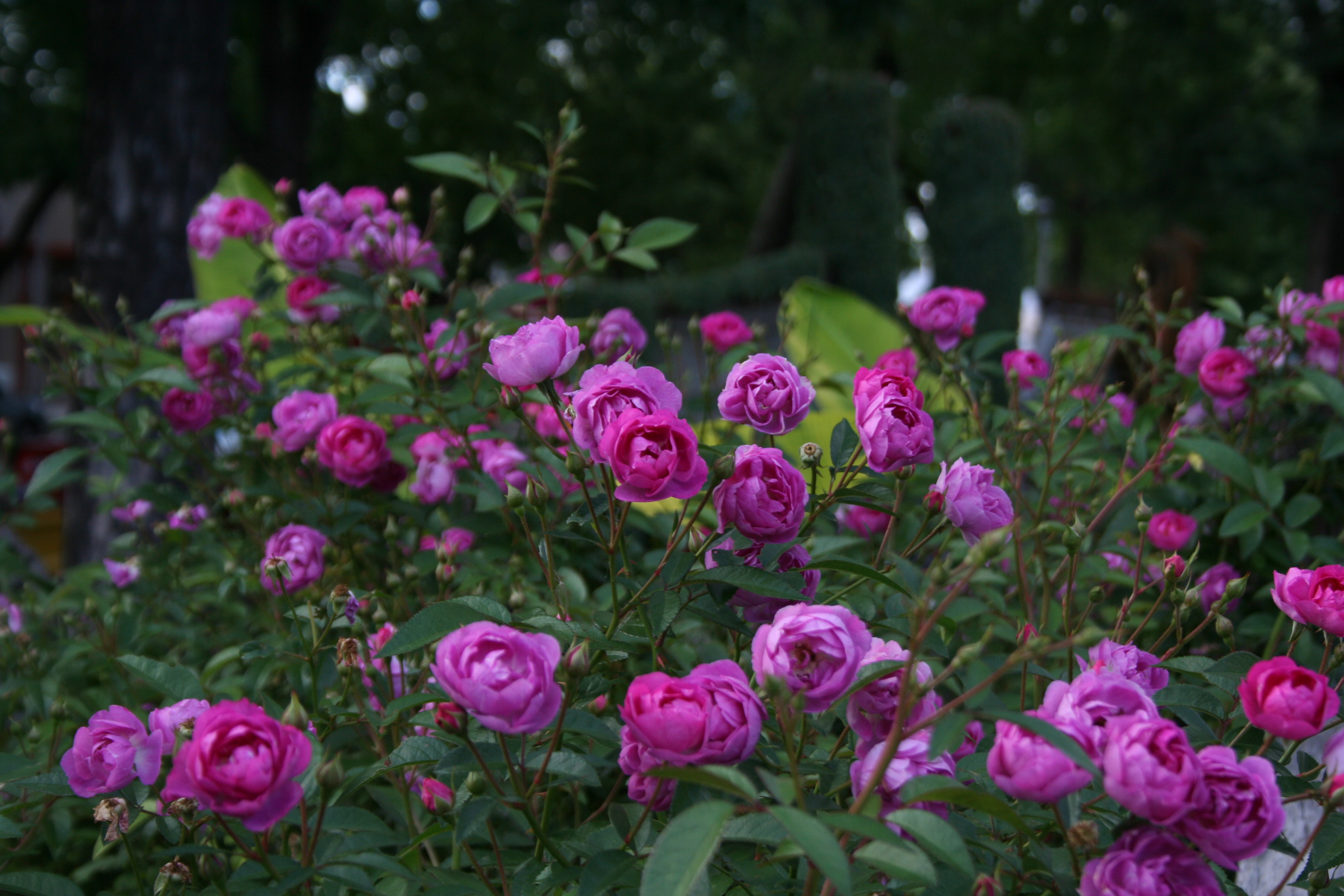 Roses In Garden: Photos From The MSHS State Fair Garden