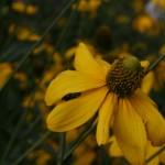 'Herbstonne' rudbeckia