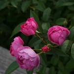 'Sven' rose