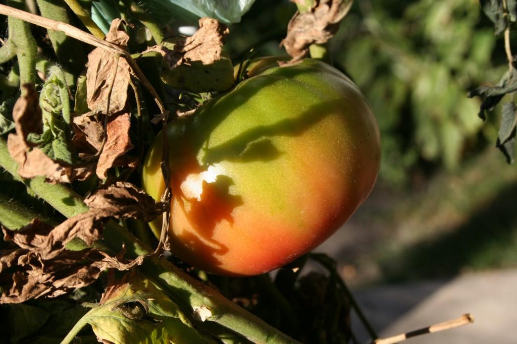 Brandywine ripening