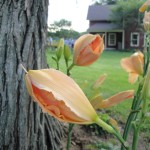 These daylilies were about to open at Lynn Steiner's home. I like the house in the background.