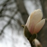 Magnolia about to bloom.