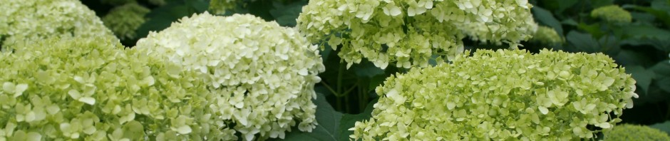 A sea of hydrangea blooms. The shot was taken at the Hudson Garden Tour -- a highlight of my summer.
