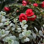 Sedum and roses.