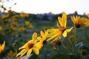 sunflowers in meadow