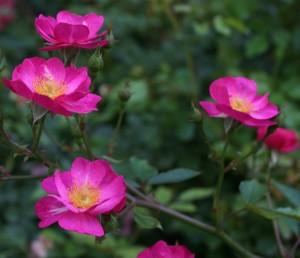 sven roses