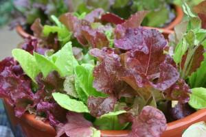 leaf lettuce in salad bowl
