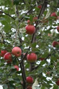 apples looking good