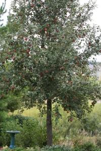 haralson tree