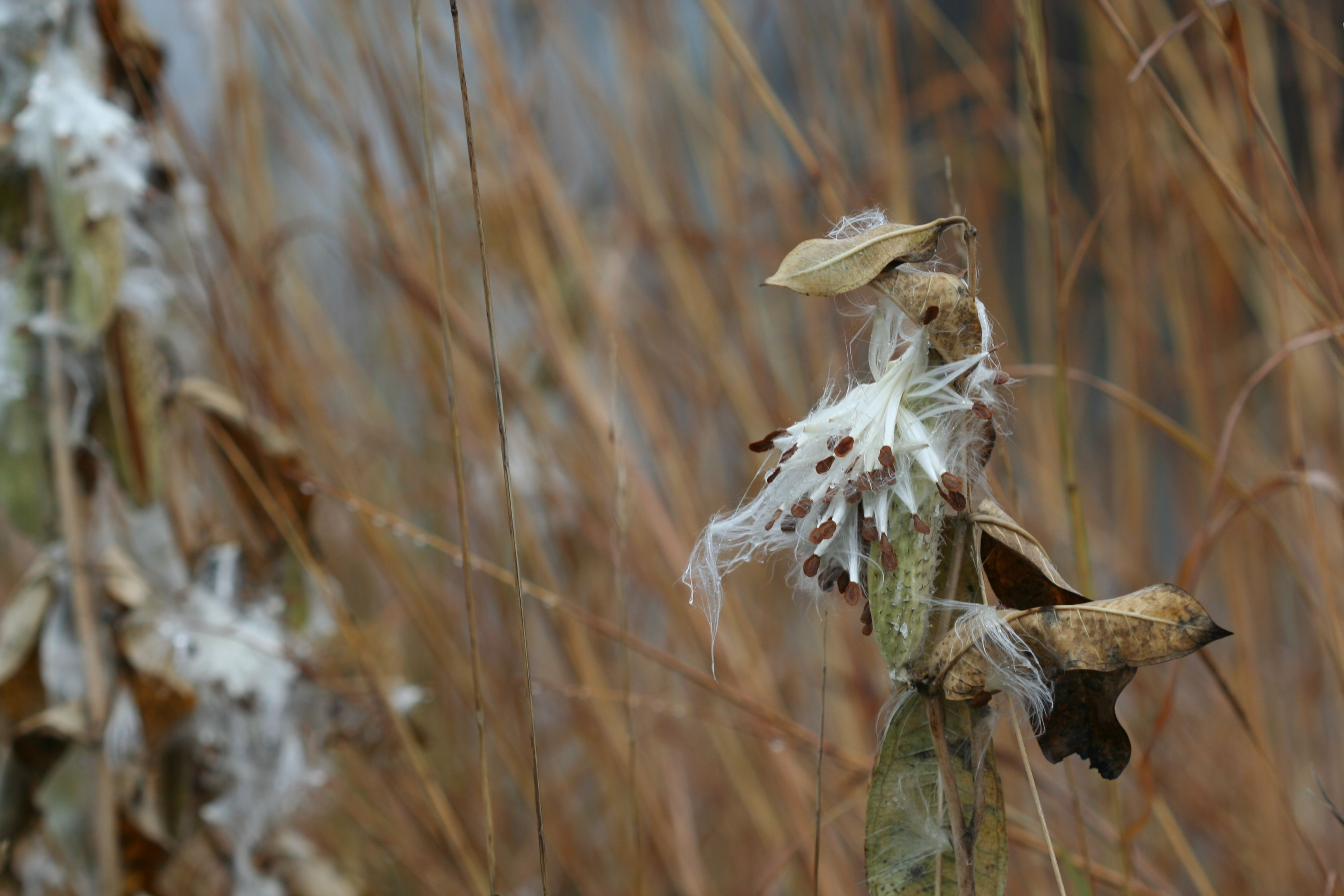 milkweed in late fall