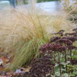 Prairie dropseed (background) is a well-behaved grass for landscapes.