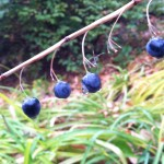 Look how big and juicy these berries on Solomon's seal look.