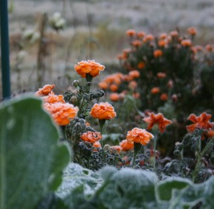 Another nice thing about marigolds is they stay blooming well into the fall.