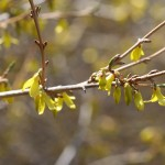 Forsythia bloom