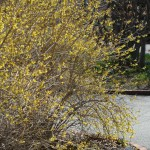 Forsythia were in bloom in this south-facing area.