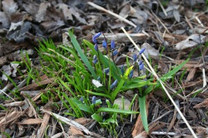 Siberian squill ready to bloom