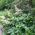 Rodgersia -- a great, big plant for shade, no matter where you garden.