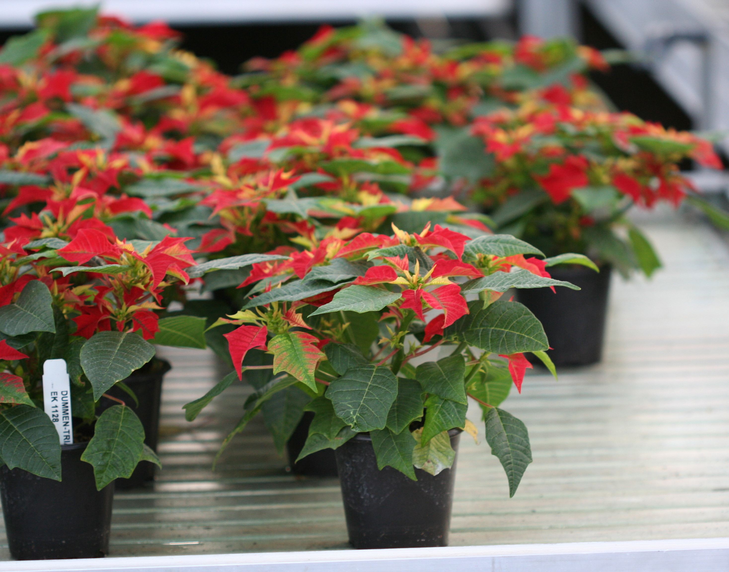 These small poinsettias would be attractive in the office.