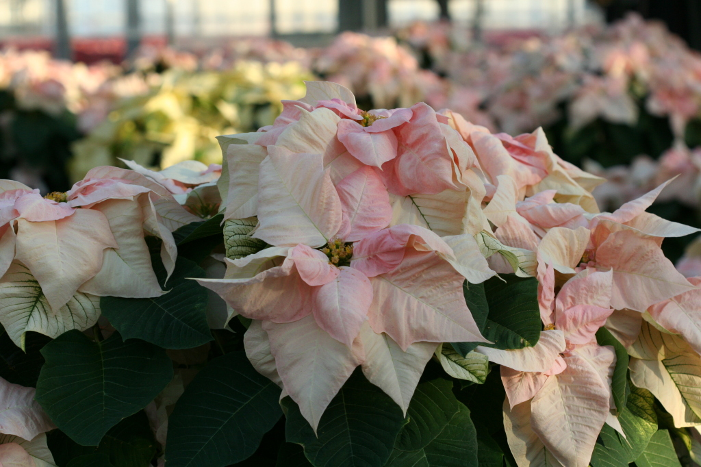 These pinkish white poinsettias would be a showy addition to your holiday decor.