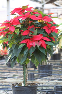 These tall poinsettias were striking at about 4 feet tall.