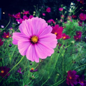 This is not a cosmos I started from seed, or grew at all, but isn't it pretty?