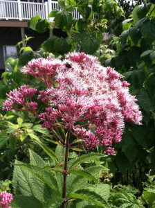 Joe Pye weed is one of the summer plants Monarchs use for nectar.