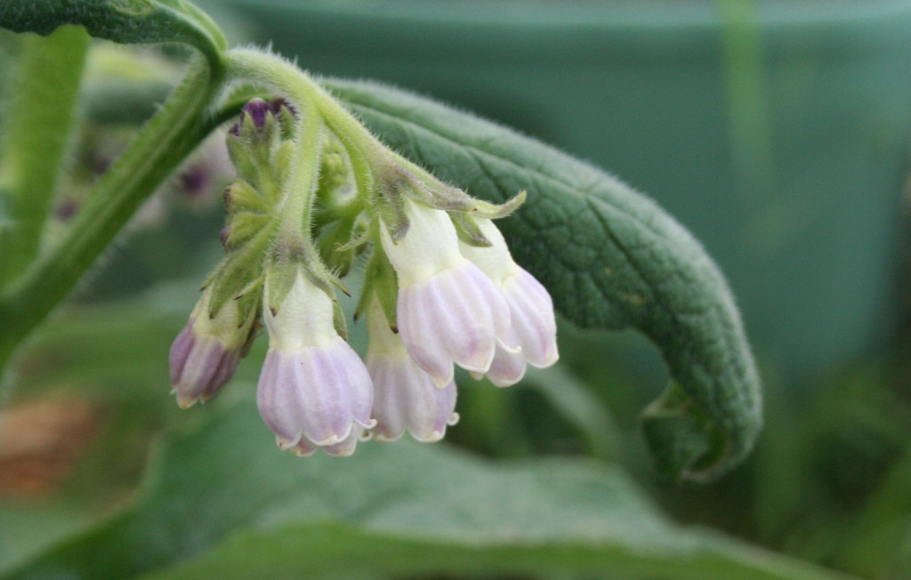 Borage has dainty blossoms on a monster plant.