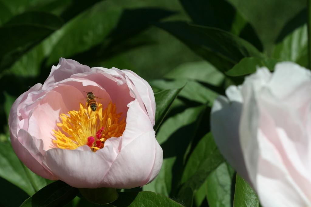 A bee checks out Pink Vanguard peony.