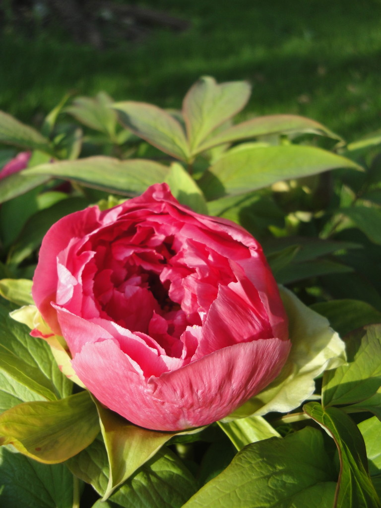Tree peony blooms are brief but beautiful.
