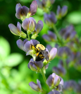 bee on baptisia