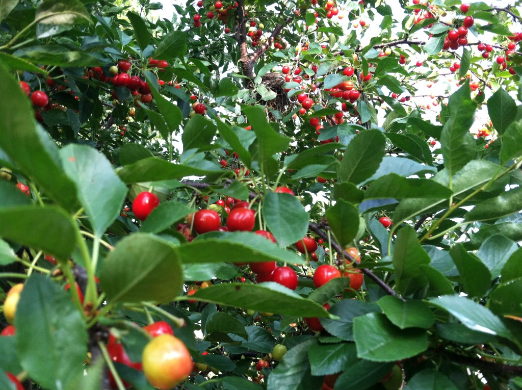 Cherry tree is full! Free samples!