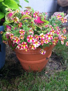 Holy Moly calibrachoa blended nicely with pink and green coleus. (Note to self: wash off pot before taking photos!)