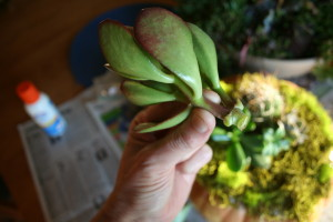 A little tail helps you to snuggle the succulents into the moss. Put craft glue on the end of the plant.