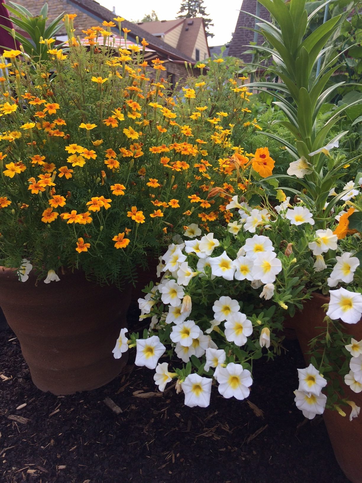 Annual flowers my northern garden marigolds pair well with this yellow centered calibrachoa which is called superbells over easya new plant from proven winners izmirmasajfo Image collections