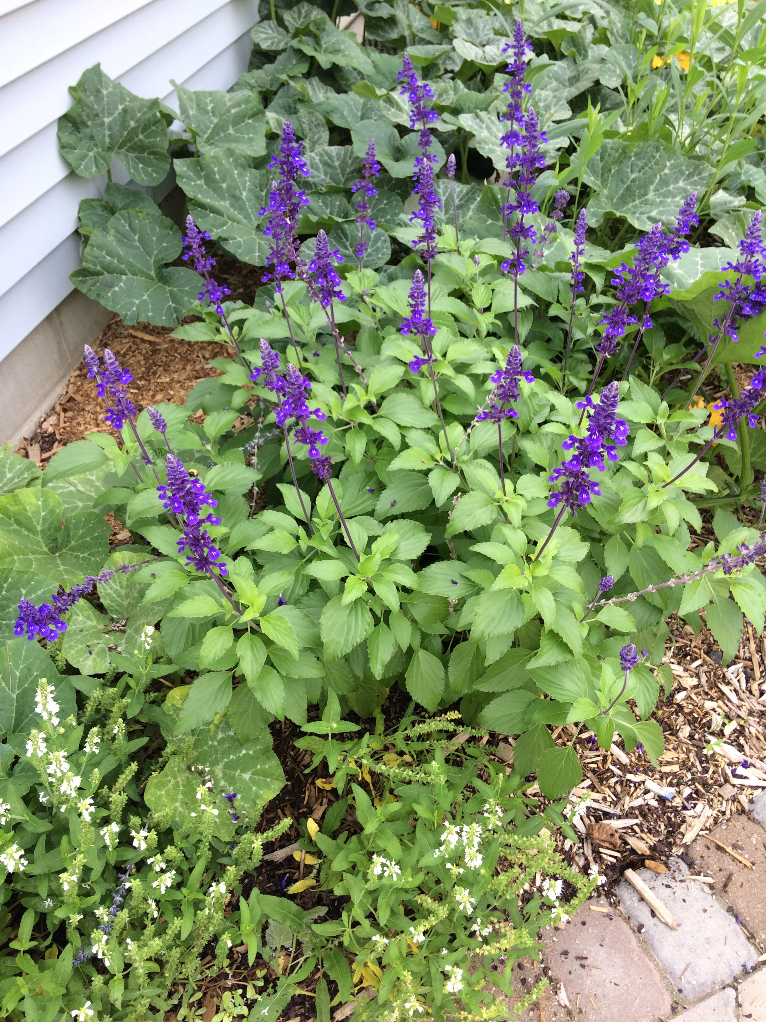 Annual flowers my northern garden playin the blues looking great in my junk drawer garden bed izmirmasajfo