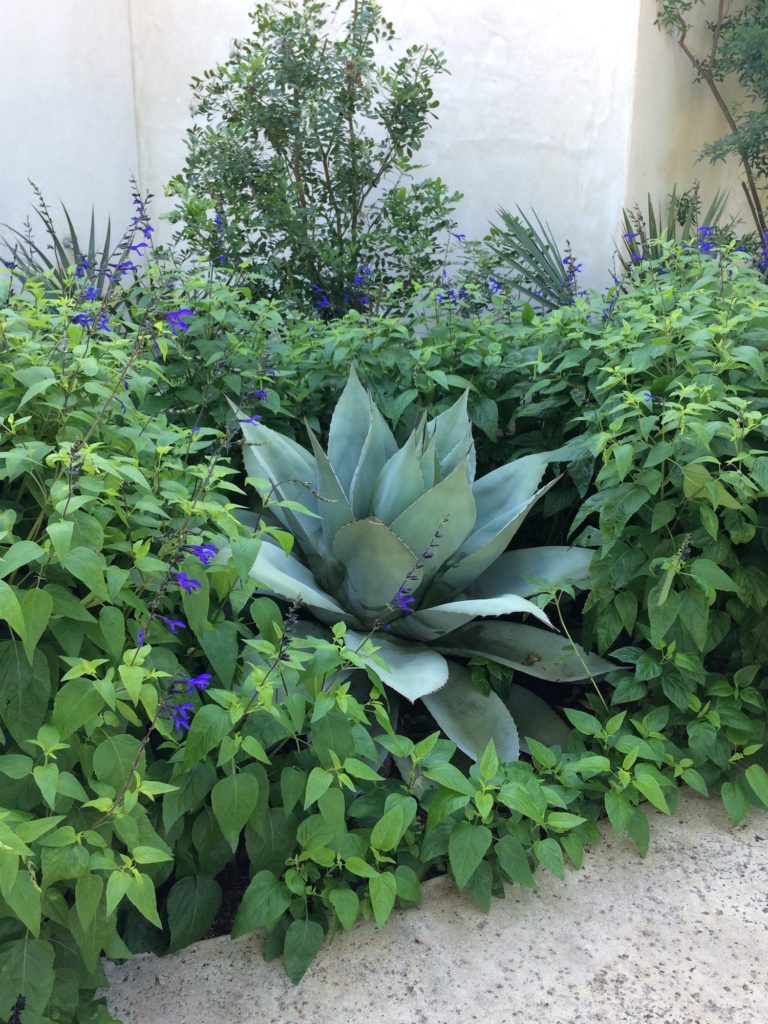 agave cactus surrounded by salvia