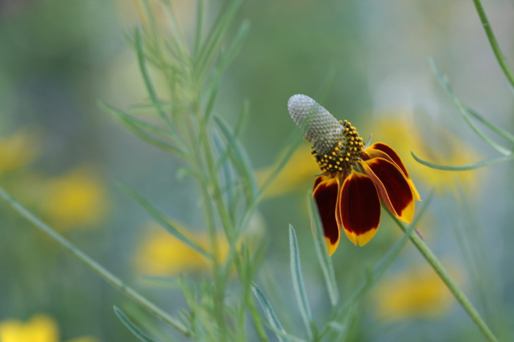 closeup of Mexican hat flower
