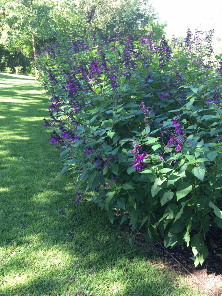 hedge with purple flowers
