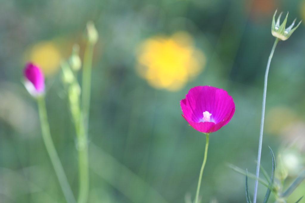 purple wine cup flower