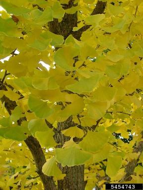 ginkgo changing climate