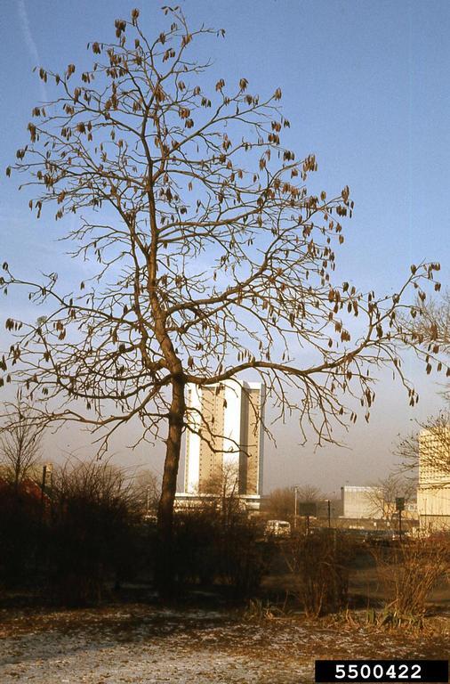 coffeetree in winter