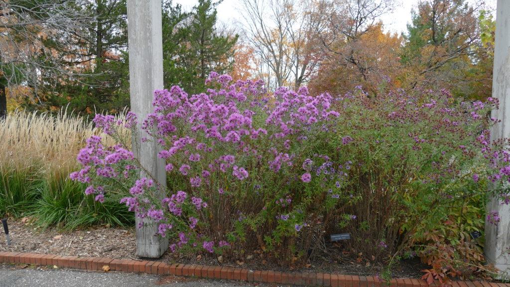 aster in bloom at Minnesota landscape arboretum