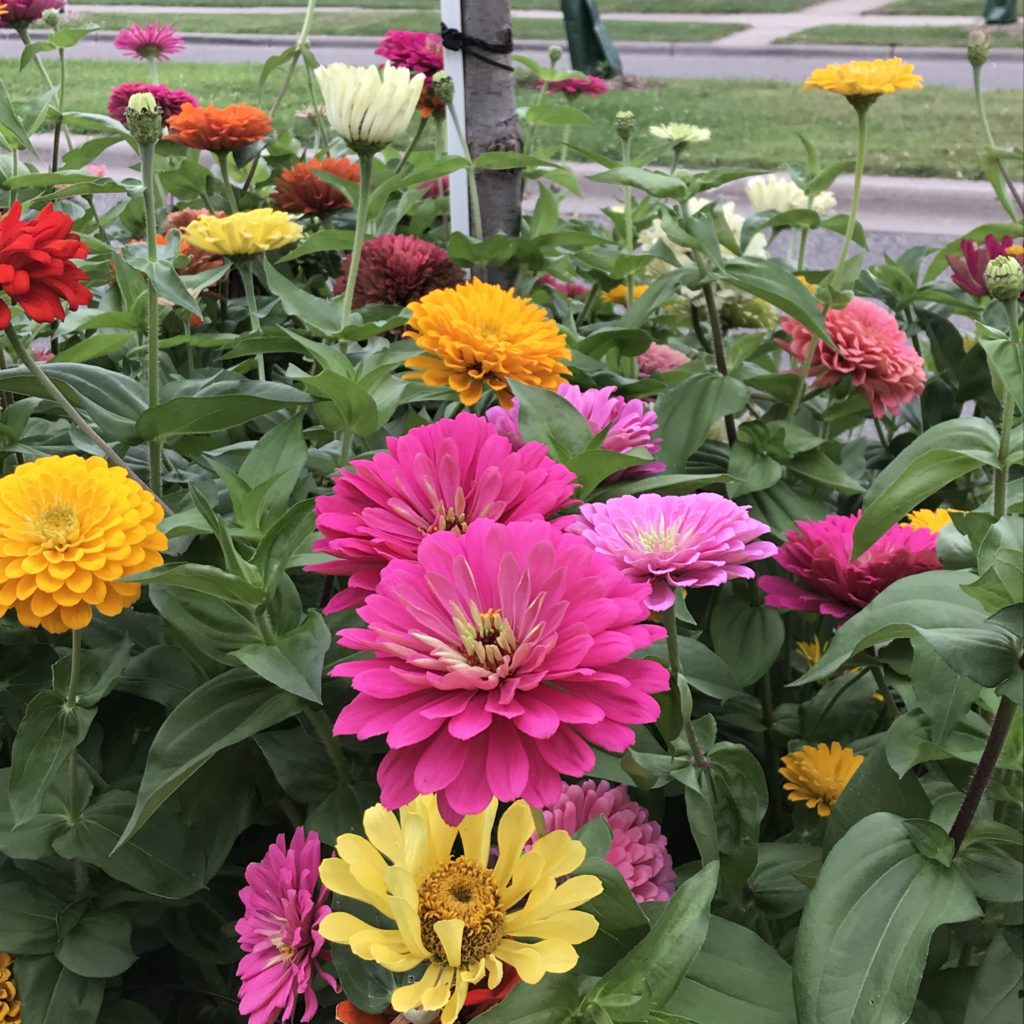 Zinnia annual flowers