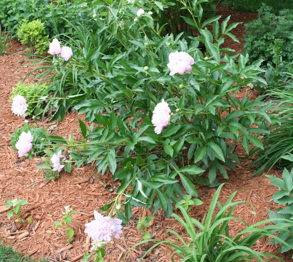 pink peony flopped over after rain